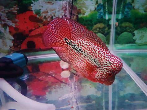 Udang Pakan Ikan Louhan cara membuat warna ikan louhan cerah dan lebih merah