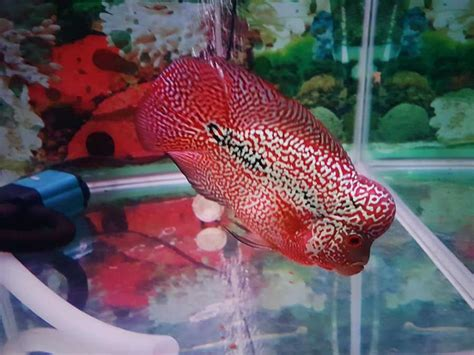 Pakan Ikan Louhan Untuk Jenong cara membuat warna ikan louhan cerah dan lebih merah