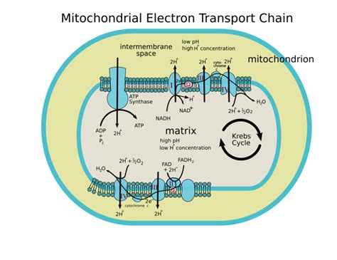 diagram and explain electron transport posts during april 2010 for i am iron