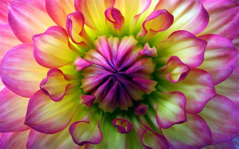 wallpaper flower high resolution 21 dahlia flower high resolution wallpaper download dahlia