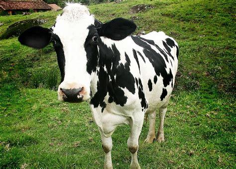 imagenes de vacas blancas inek g 252 zel inek