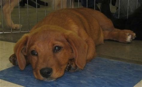 golden retriever dachshund puppies golden dox breed information and pictures