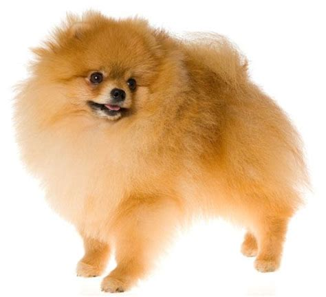 pomeranian traits pomeranian characteristics breeds and its characteristics pin