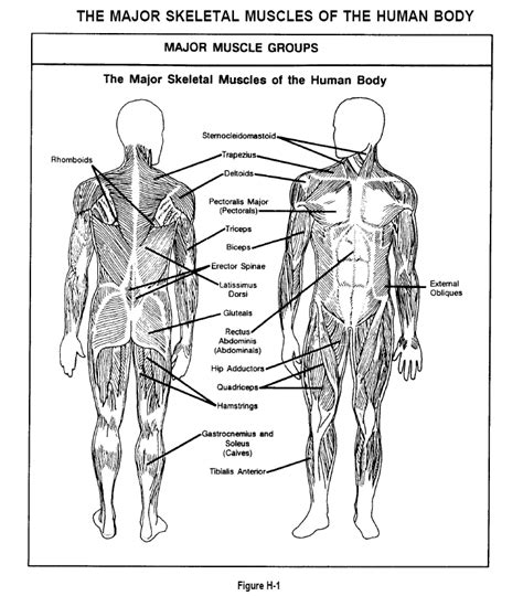 anatomy coloring book appendix a appendix h the major skeletal muscles of the human