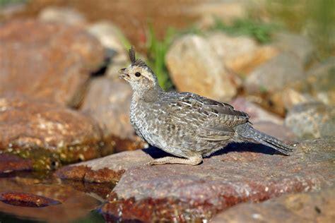 gambel s quail audubon field guide