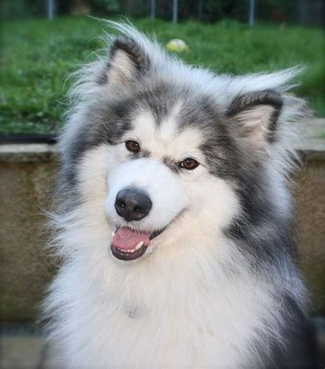 golden retriever cross malamute malamute cross husky pets photos dogs photos crosses and attack