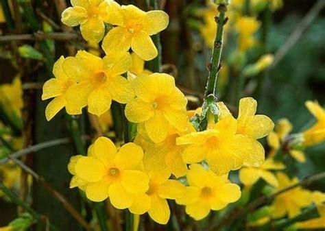 gelsomino fiori secchi gelsomino giallo piante da giardino gelsomino giallo