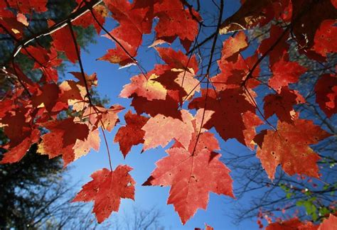 what makes leaves change color what makes leaves change color vermont radio