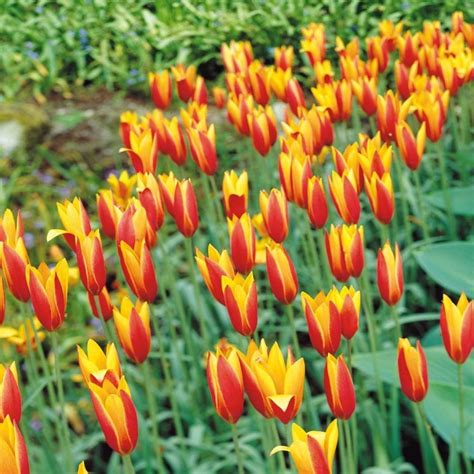 Tulpen Einpflanzen by Blumen Archives Hochbeet