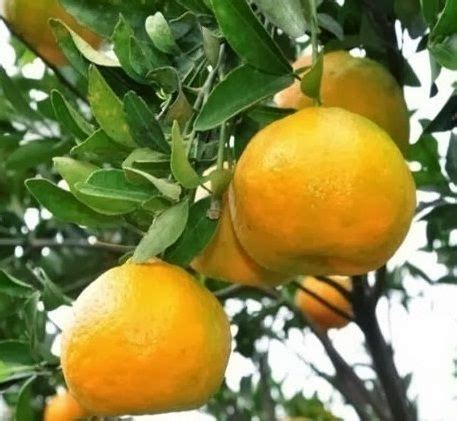 Benihbibitbiji Buah Jeruk Lemon Cui 187 best images about tanaman buah on cherries sumo and australia