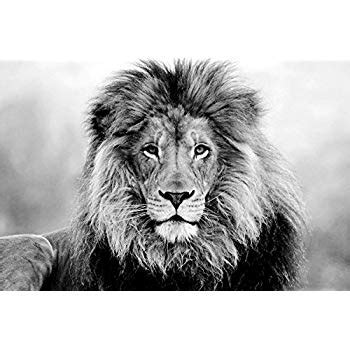 "amazon.com: lion poster black & white (36""x24""): posters"