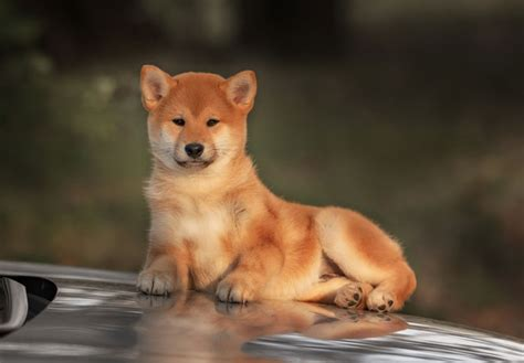 puppy shiba inu shiba inu puppies for sale akc puppyfinder