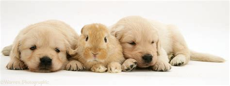 golden retriever with baby baby golden retriever wallpaper wallpapersafari
