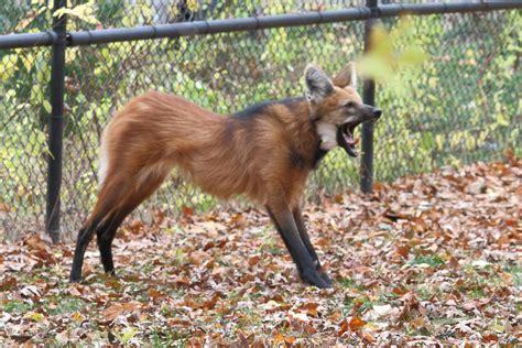 volpe volante malese file maned wolf 10 beardsley zoo 2009 11 06 jpg