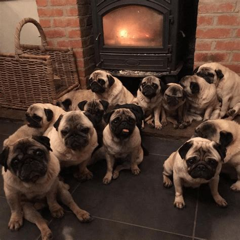 pugs how do they live adopts 30 pet pugs then reveals she spends 24 000 a year on them