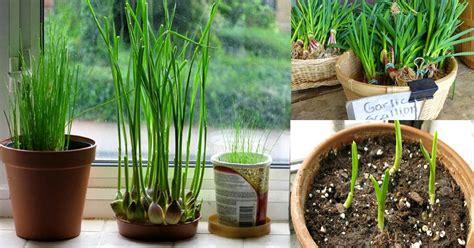 grow garlic indoors growing garlic indoors