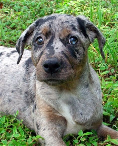 state dogs catahoula leopard louisiana s state in pursuit of a pet maybe