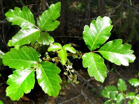 poison oak toxicodendron diversilobum