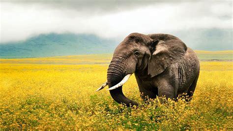 best hd free 10 best hd elephant wallpapers freecreatives