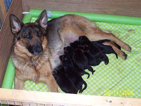 german shepherd newborn puppies vom steinholtz german shepherds our philosophy on raising great puppies