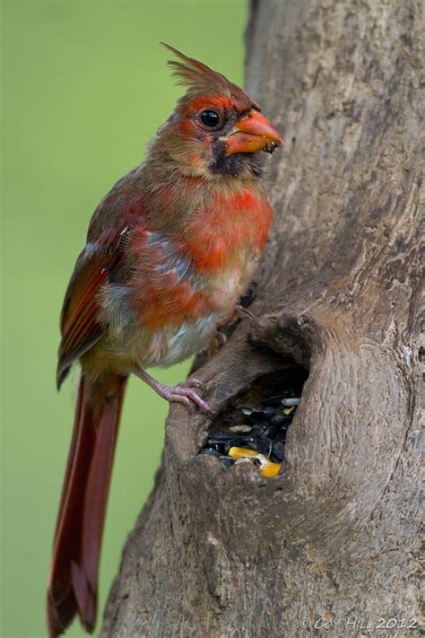 country captures molting northern cardinals