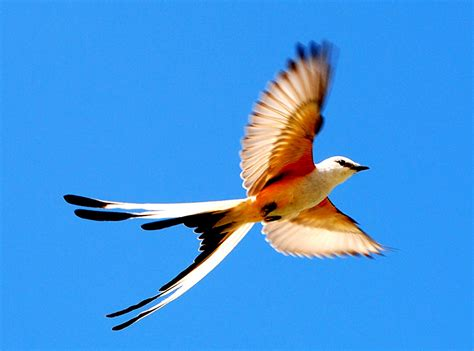 scissor tailed flycatcher in flight 5 of 5 a photo on