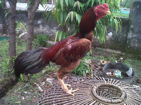 cara mudah ternak ayam bangkok bagi pemula ternak ayam nasa