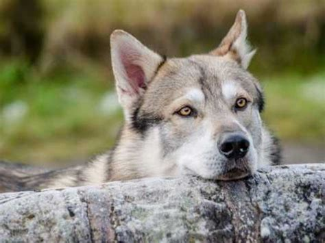 northern inuit dog breed information buying advice