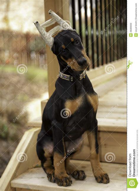 doberman pinscher puppy price doberman pinscher puppy stock photo image 28289930