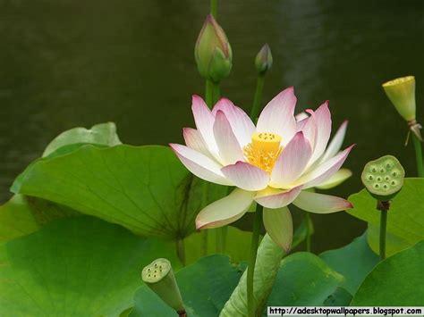lotus flower desktop wallpaper lotus flower desktop wallpapers a desktop wallpapers