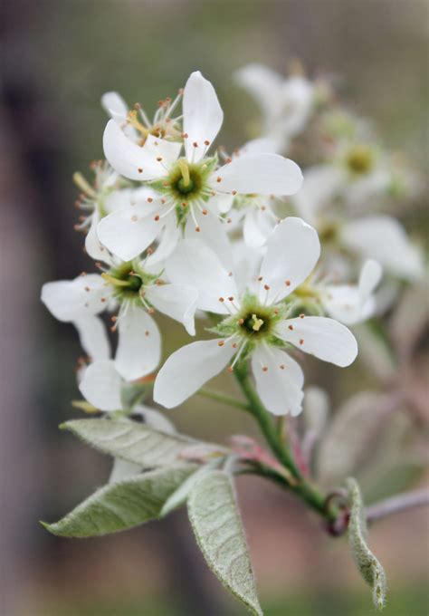 15 04 St Flower Bee White trees that attract bees gardening q a with george weigel