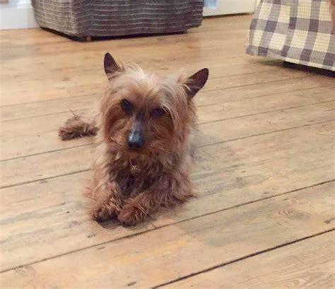 miniature yorkie rescue uk sooty terrier