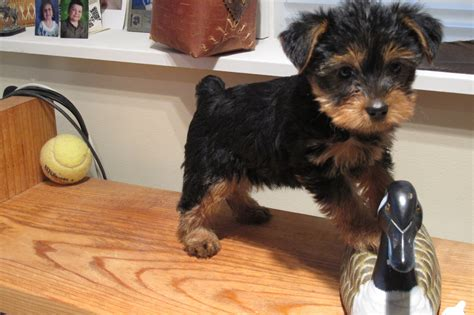 Image Gallery Newborn Yorkie Poo Puppies