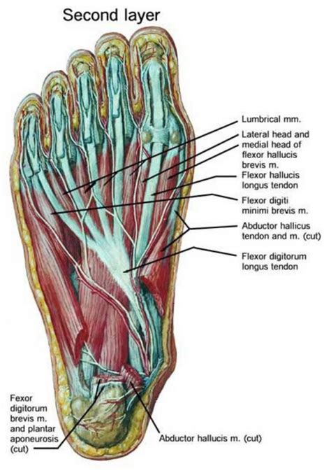 the anatomy of a foot anatomy ligaments human anatomy diagram