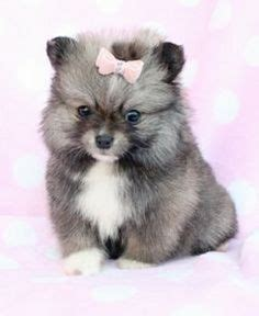 mini pomsky puppies for sale reese collins on