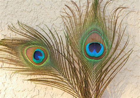 Picture Of Peacock Feather How To Paint A Peacock Feather Step By Step Www Pixshark