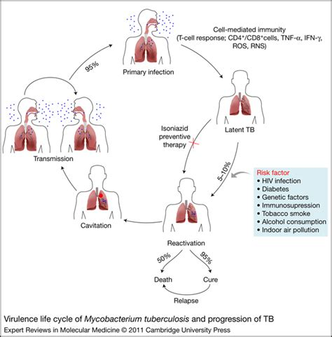 tuberculosis diagram the cycle of m tuberculosis tuberculosis