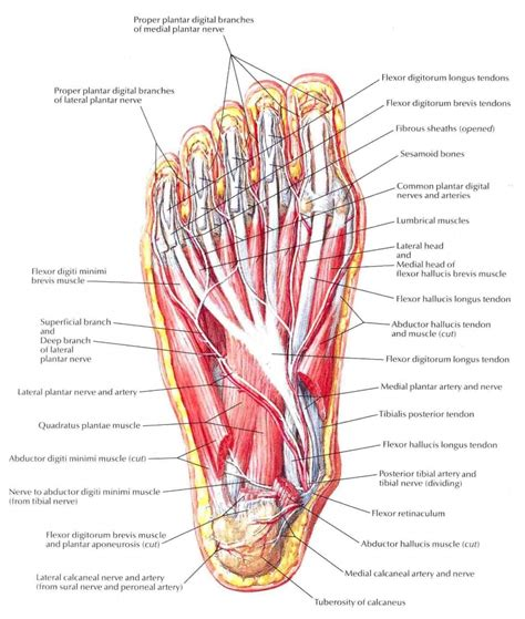 diagram of muscles and tendons foot anatomy diagram human anatomy system