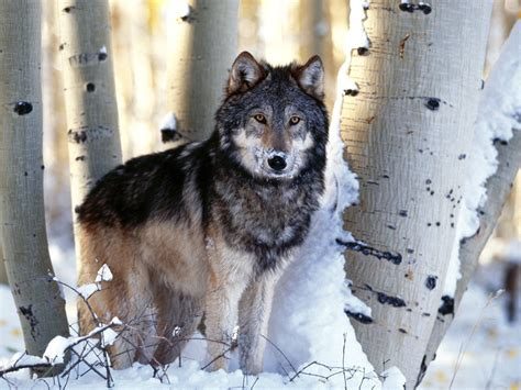 wolf s wolves images wolves wallpapers wallpaper photos 9705443