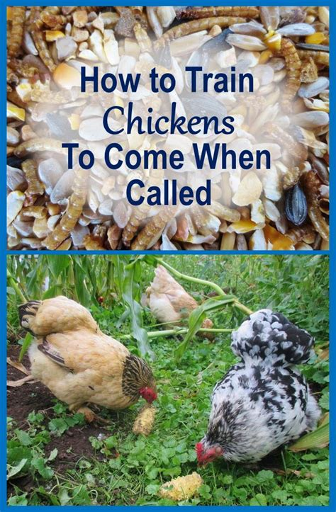 how to a to come when you call how to chickens to come when called