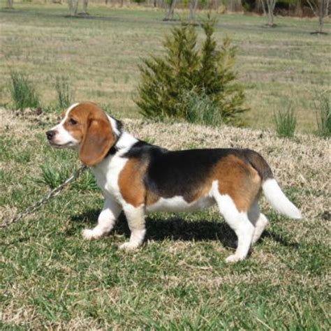 puppies unlimited wooster ohio grown teacup beagle breeds picture