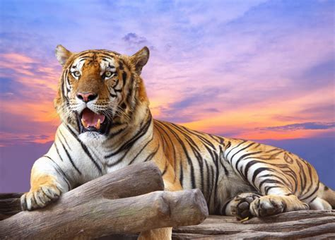 Tiger at Sunset jigsaw puzzle in Animals puzzles on
