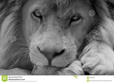 imagenes de leones a blanco y negro le 243 n blanco y negro fotos de archivo libres de regal 237 as