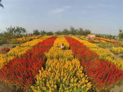 belanda  tulip  klaten   good news
