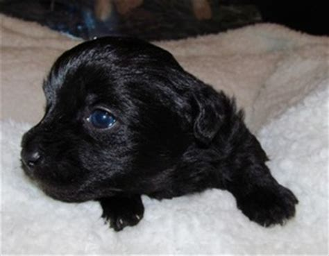 all black yorkie poo view ad yorkie poo puppy for sale carolina huntersville usa
