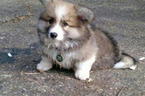 fluffy corgi puppies murphy fluffy corgi puppy corgi