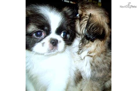 pekingese puppies for sale in florida pekingese breed information and breeder directory breeds picture