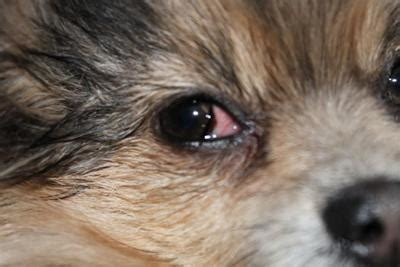 eye infections in dogs eye infection in eye redness