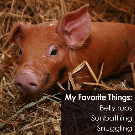are pigs smarter than dogs top ten fascinating facts about pigs
