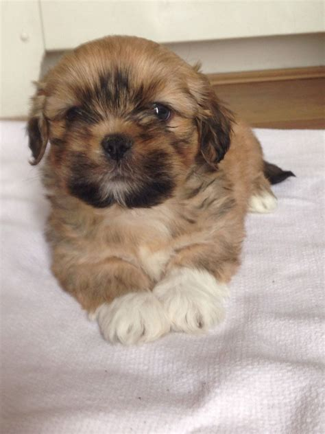 lhasa apso puppies for sale lhasa apso puppies for sale ruthin denbighshire pets4homes